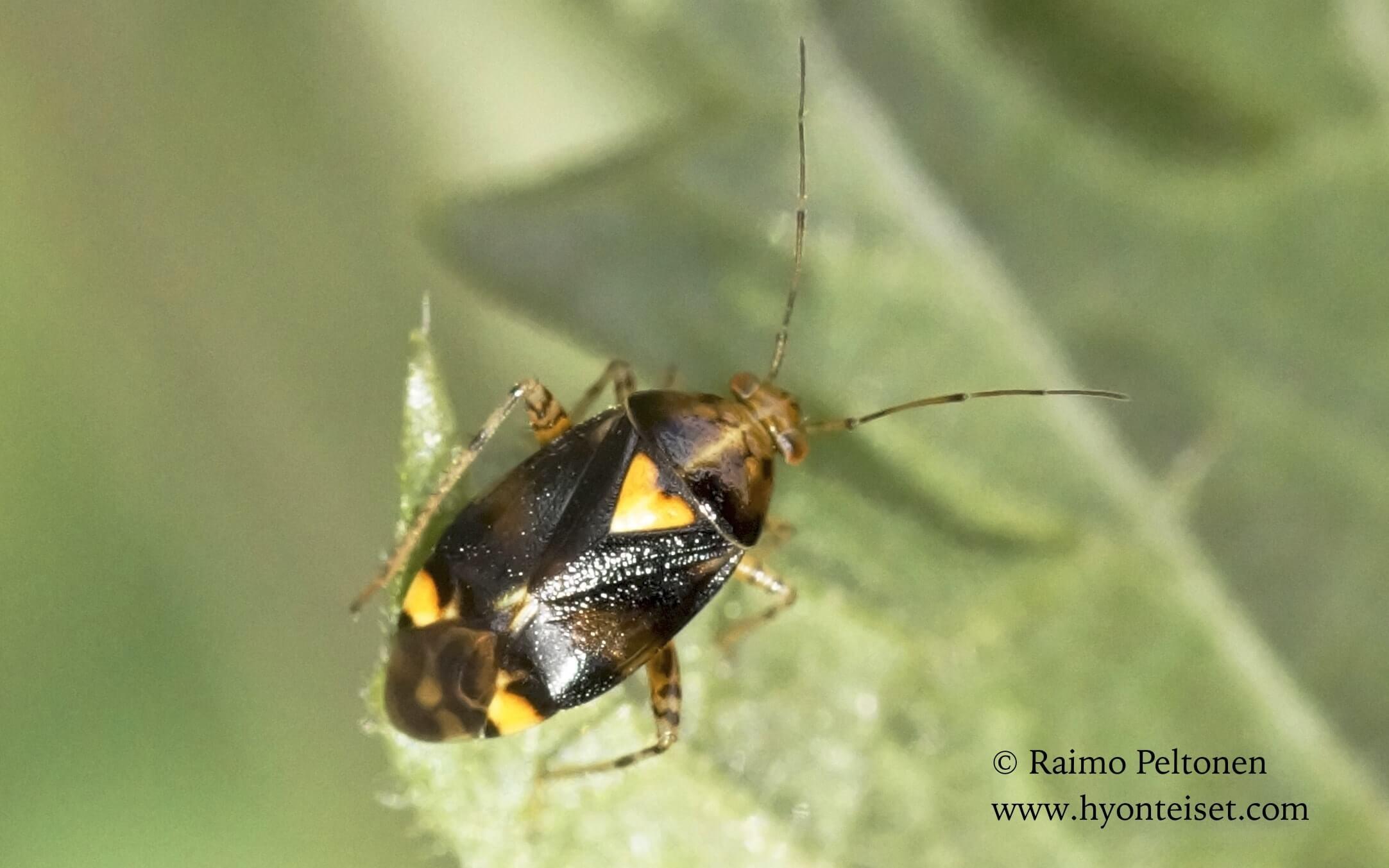 Liocoris tripustulatus-nokkoslude