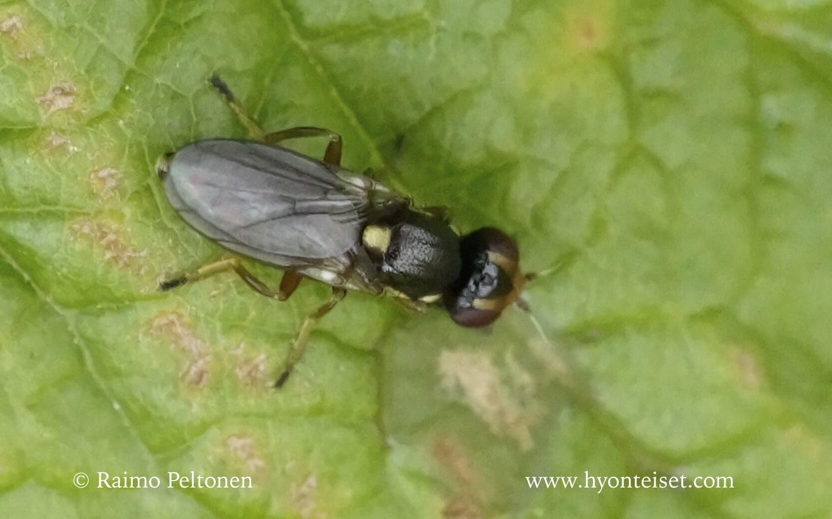 Liriomyza sp. (det. Kaj Winqvist)