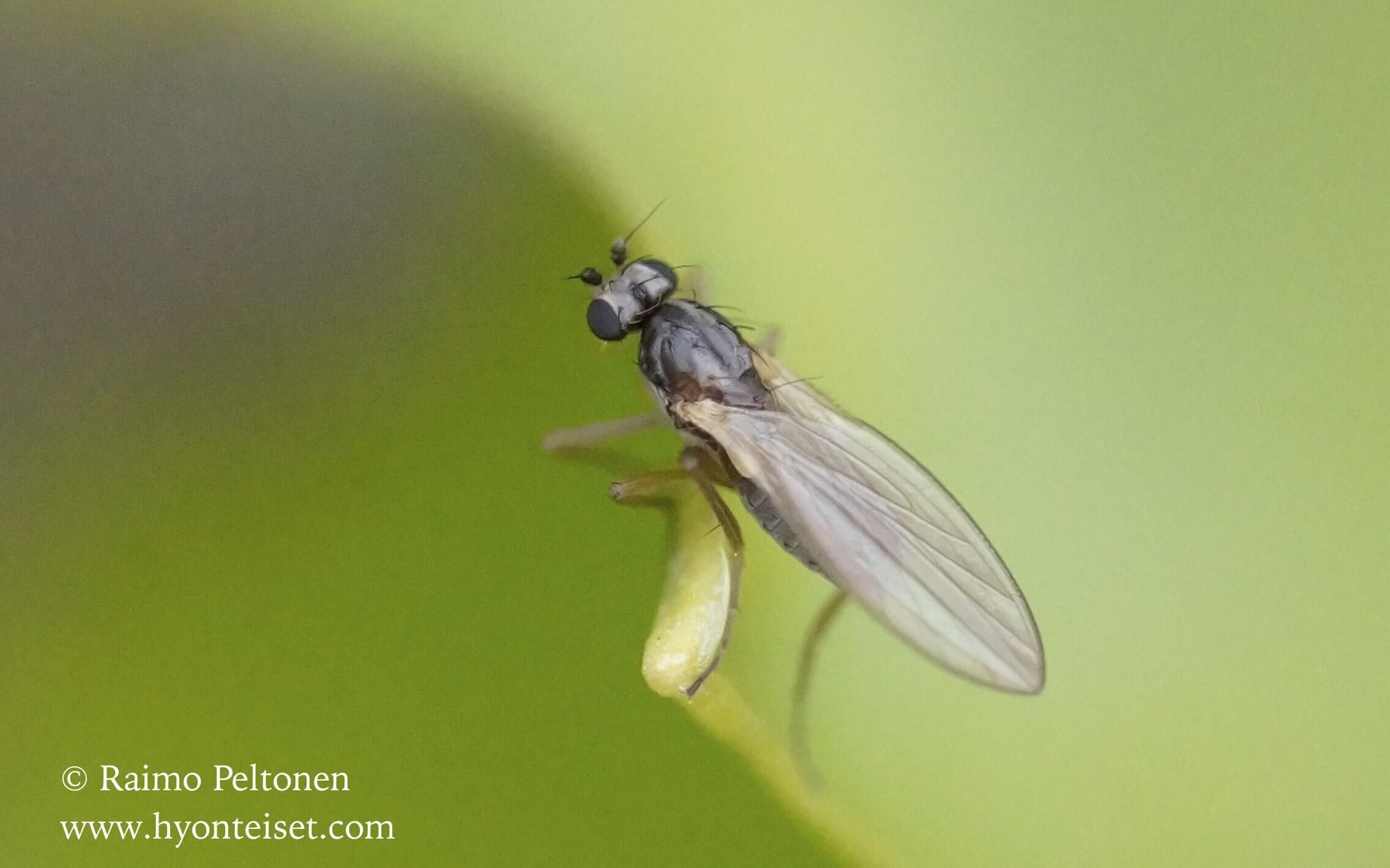 Longchoptera bifurcata (det. Kaj Winqvist)