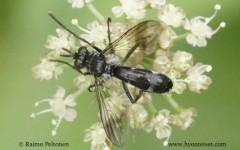 Lophosia fasciata