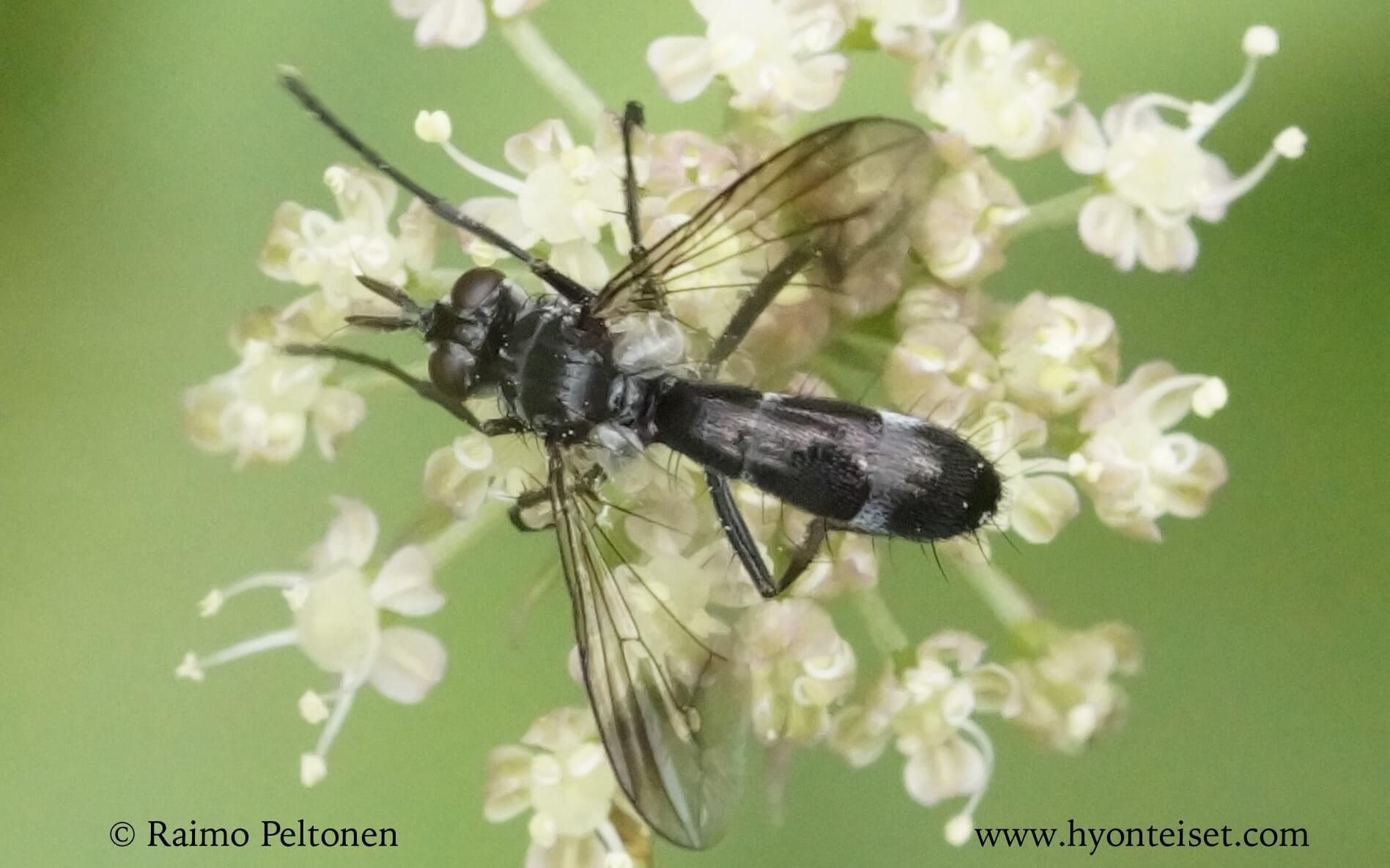 Lophosia fasciata (det. Kaj Winqvist)