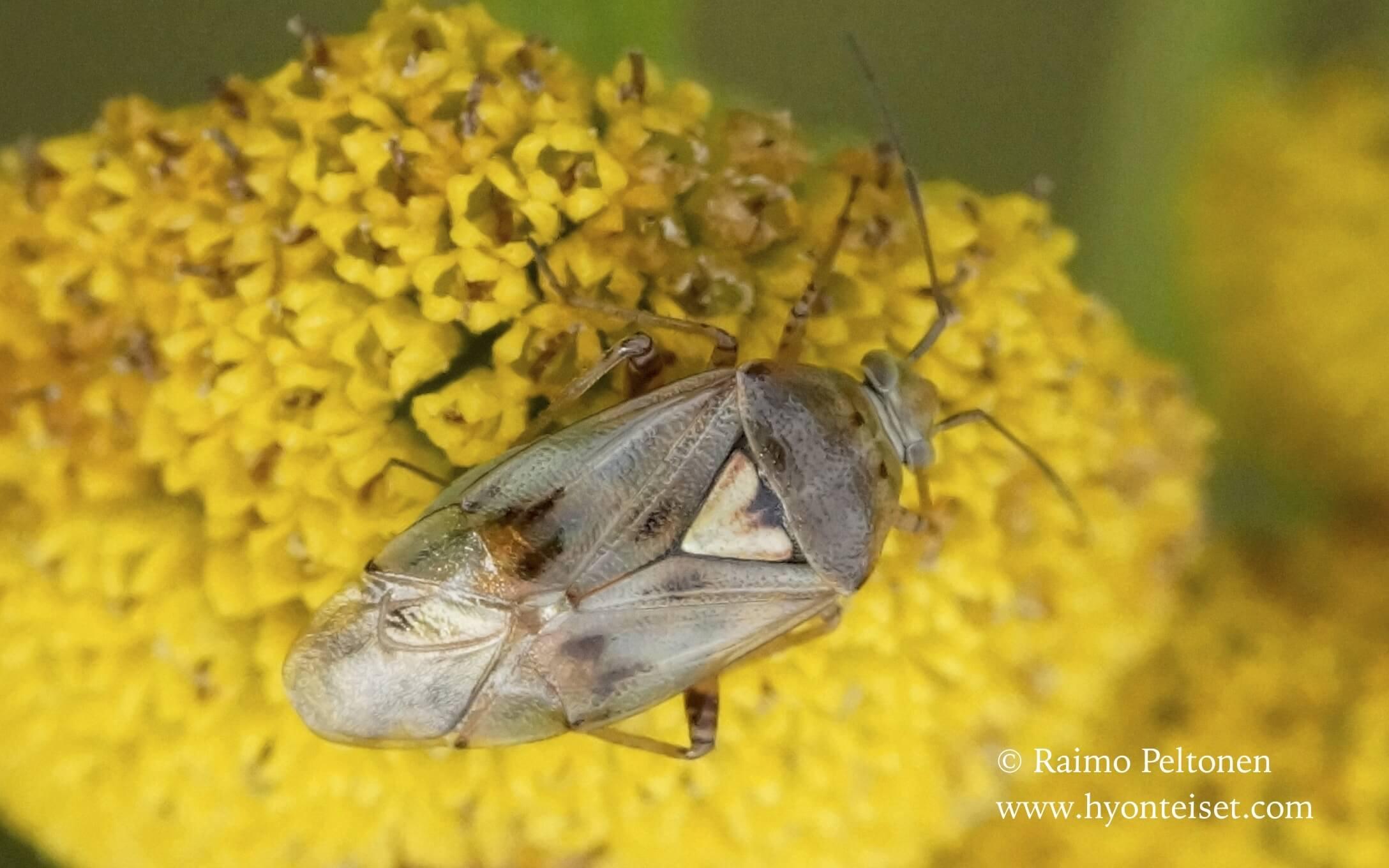 Lygus gemellatus-marunalude