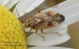 Lygus punctatus