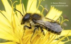Megachile sp. 2