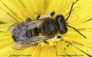 Megachile sp. 1
