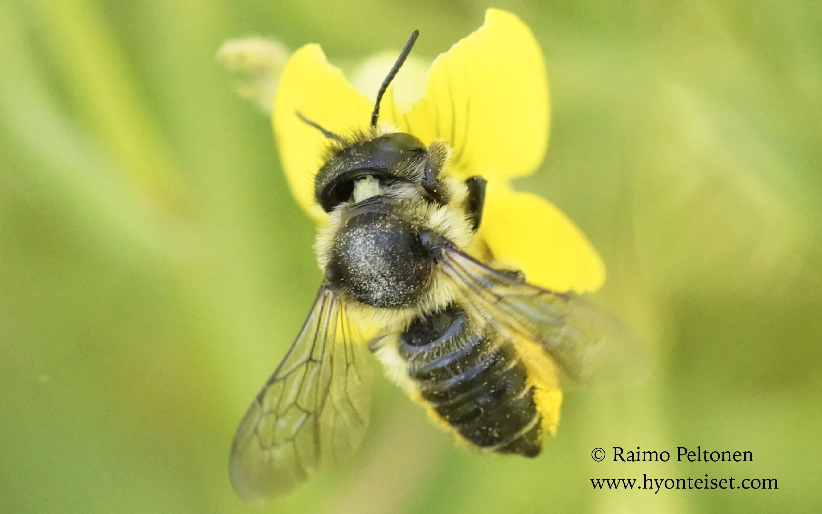 Megachile sp., naaras (det. Juho Paukkunen)