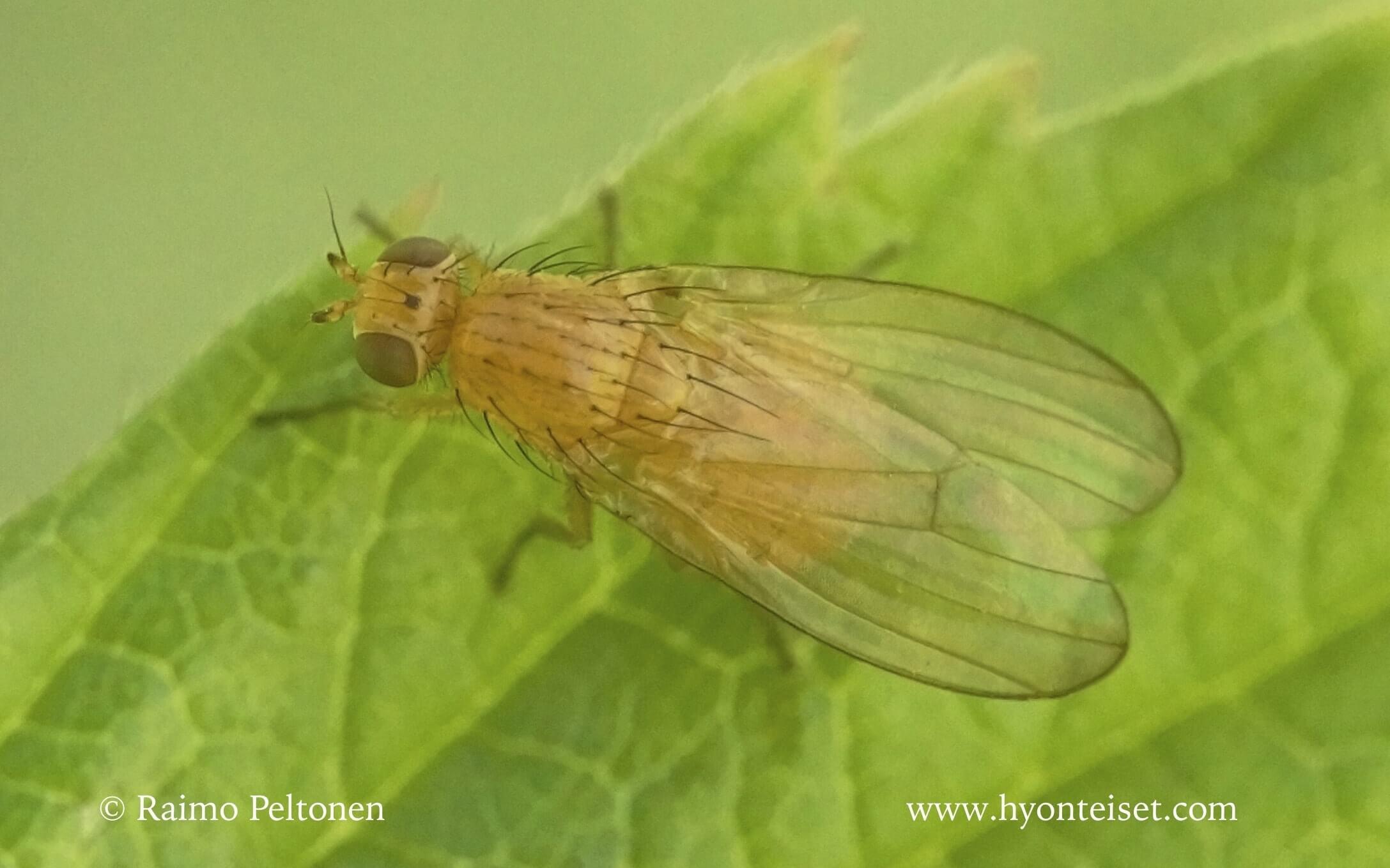 Meiosimyza affinis (det. Kaj Winqvist)