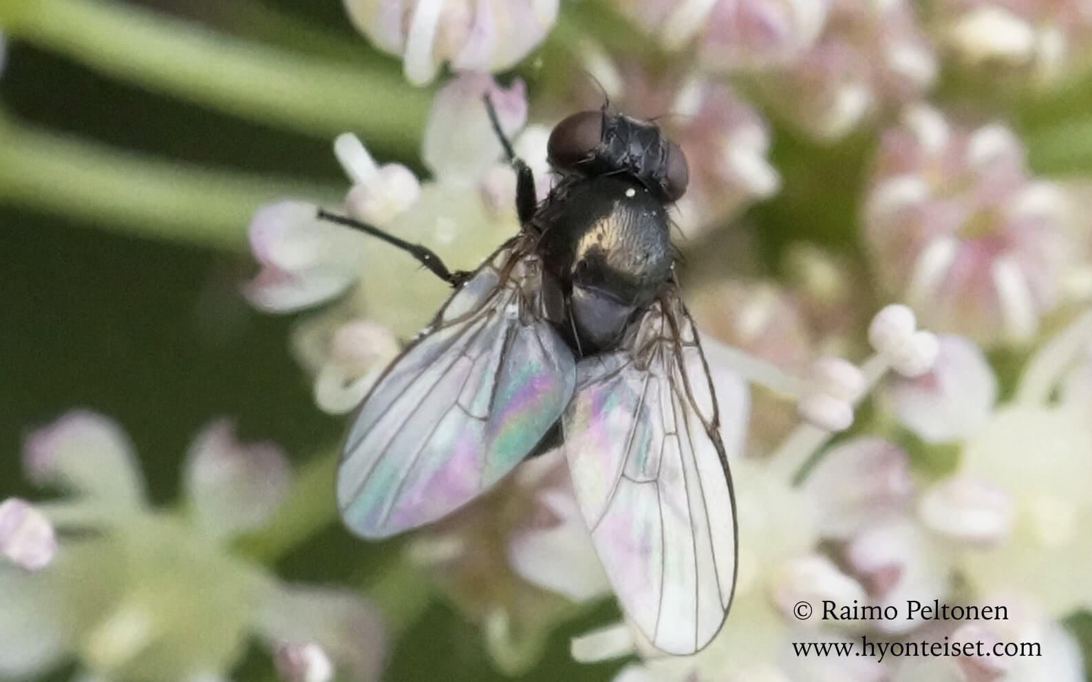 Melanagromyza sp. (det. Milos Cerny)