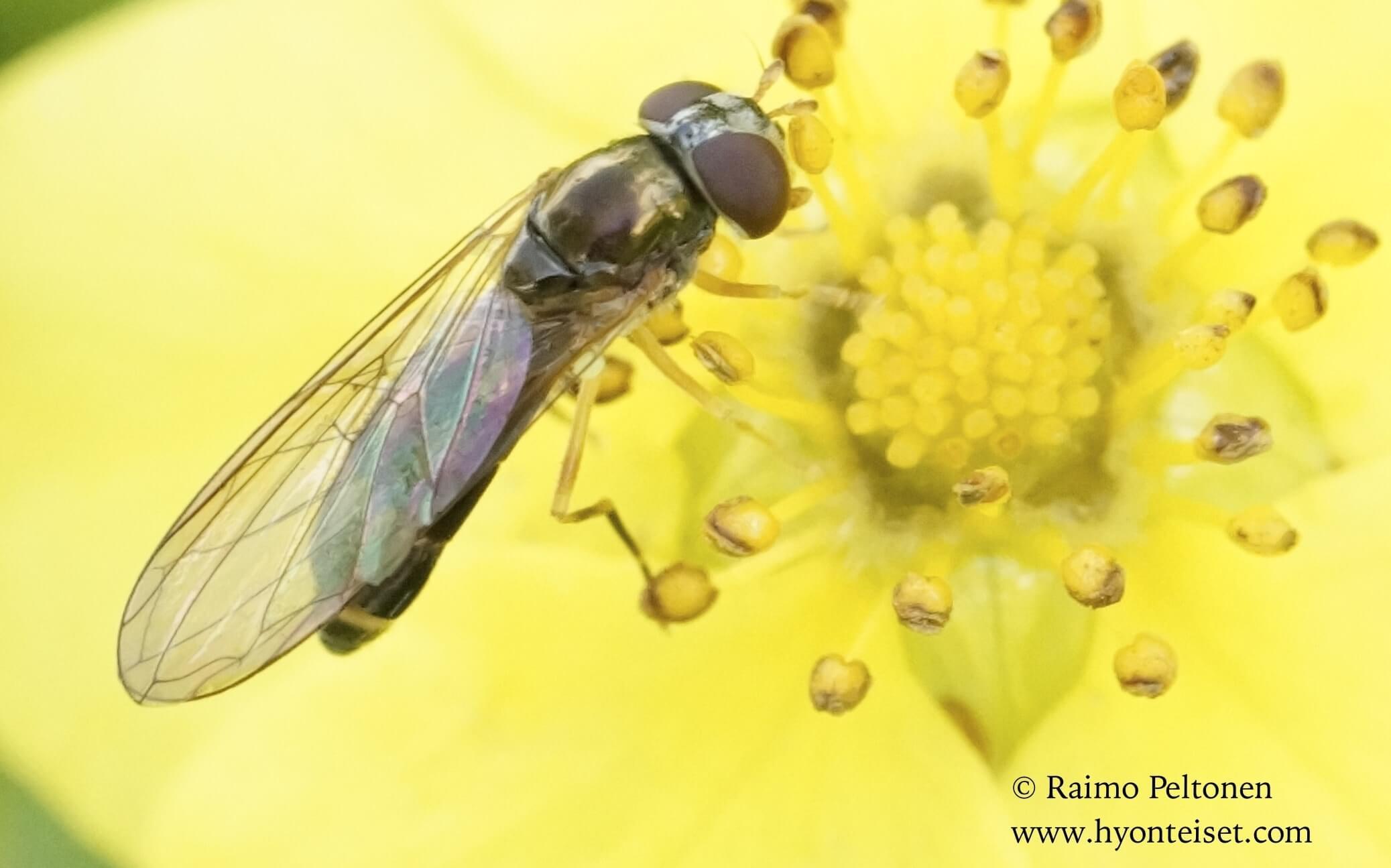 Melanostoma scalare-pölymaakirvari (det. Antti Haarto)