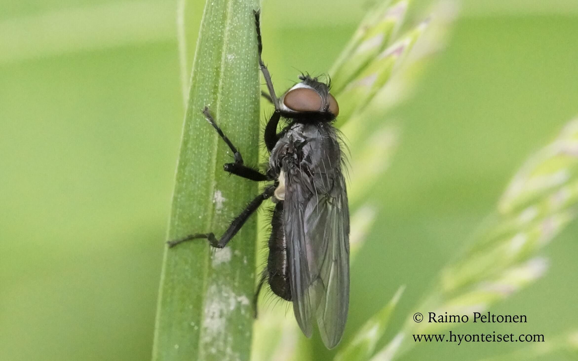 Moronia doronici (det. Stephane Lebrun)