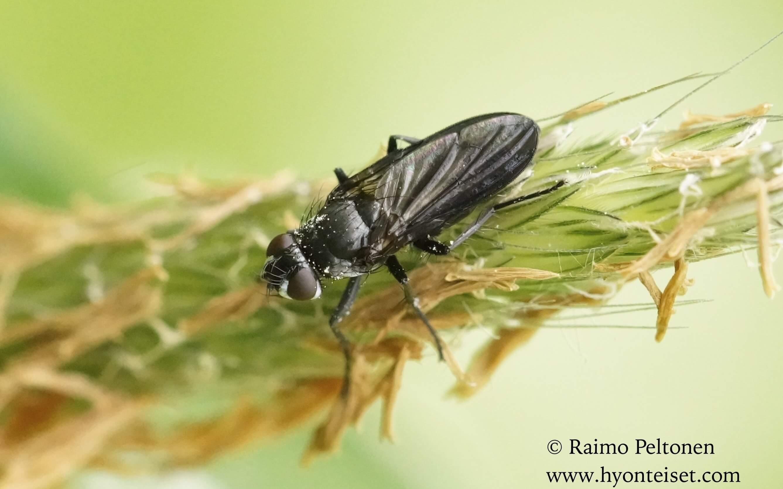 Moronia doronici (det. Stephanen Lebrun)