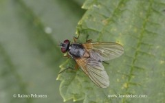 Mydae humeralis/setifemur