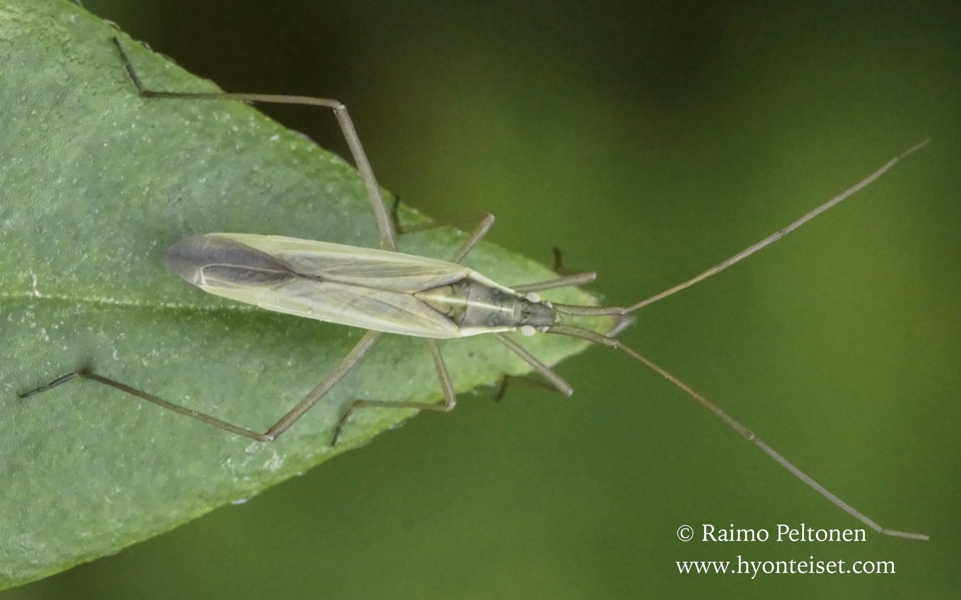 Notostira sp.-ahdelude