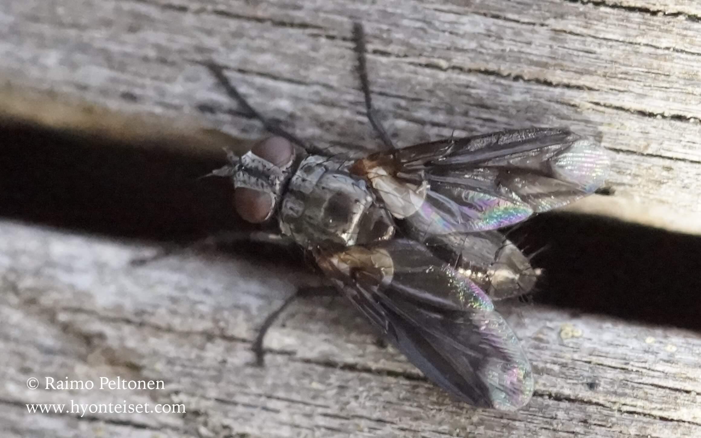 Nyctia lugubris (Sarcophagidae) (det. Piluca Alvarez) GRAN CANARIA