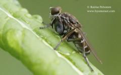 Ochthera mantis 2