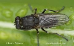 Ochthera mantis 1