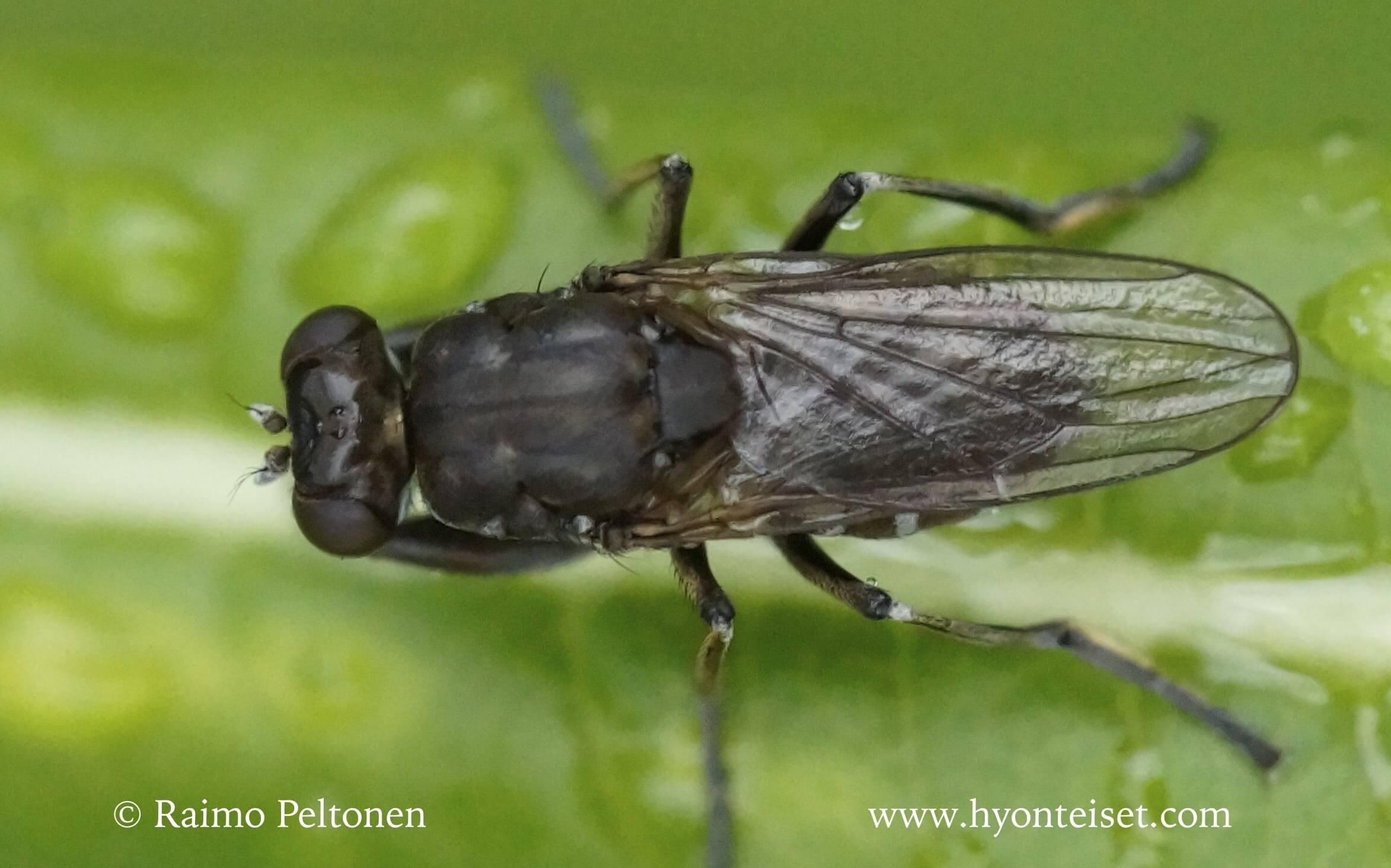Ochthera mantis (det. Kaj Winqvist)