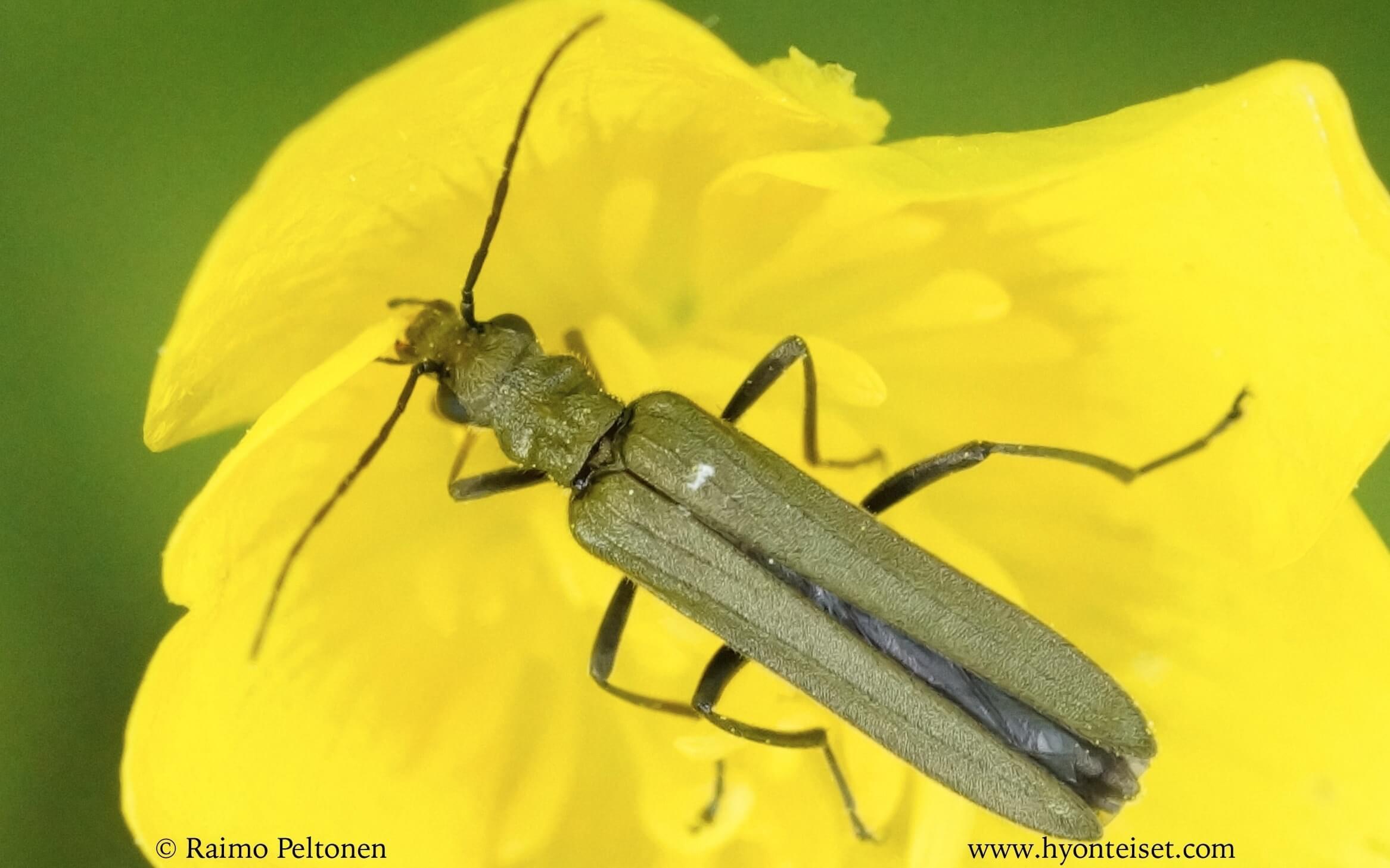 Oedemera virescens-viherpaksureisi
