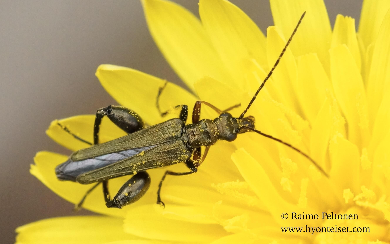 Oederma flavipes, koiras (Oedemeridae) MALLORCA