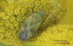 Megalocoleus tanaceti 2