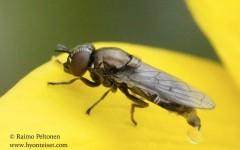 Orthonevra geniculata 2