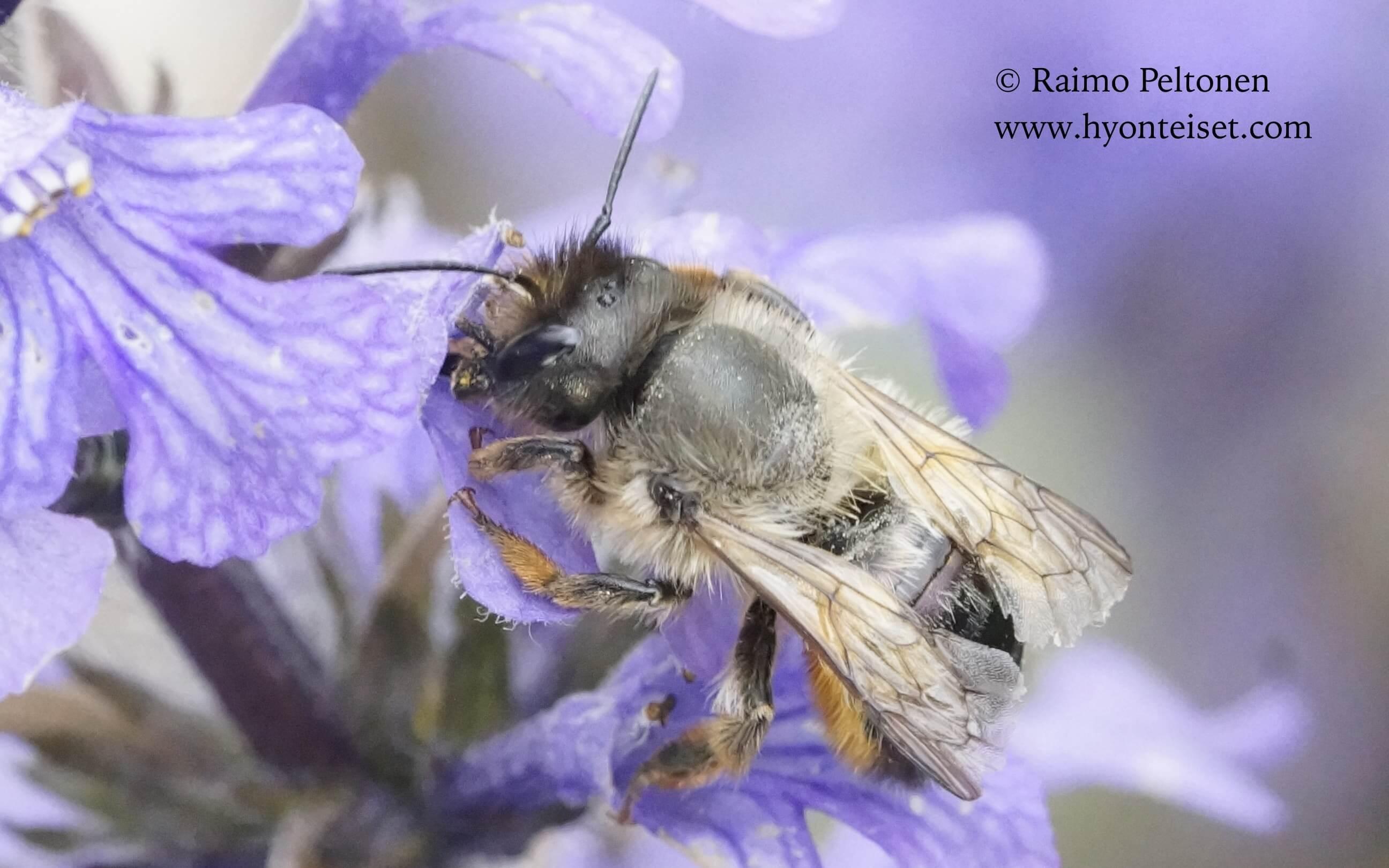 Osmia bicornis-rusomuurarimehiläinen, naaras (det. Juho Paukkunen)