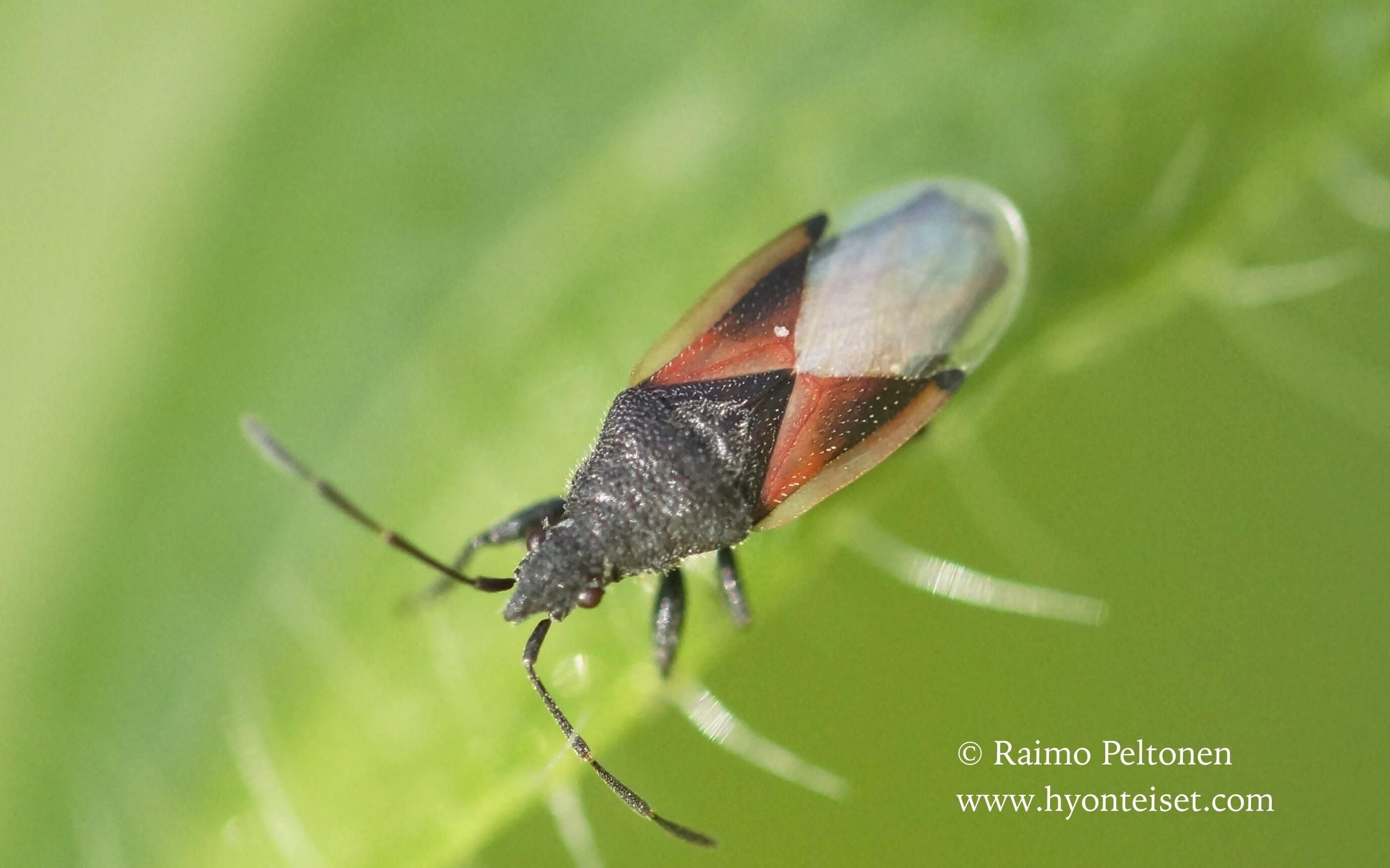 Oxycarenus lavaterae (Lygaeidae) MADEIRA