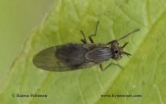 Pachycerina seticornis 1