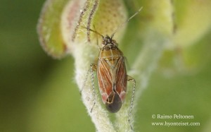 Pachyxyphus lineellus