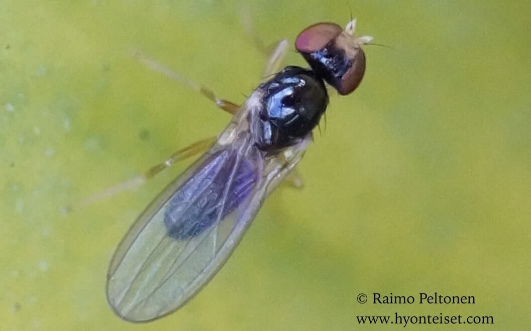 Paranthomyza cf. nitida (det. Kaj Winqvist)