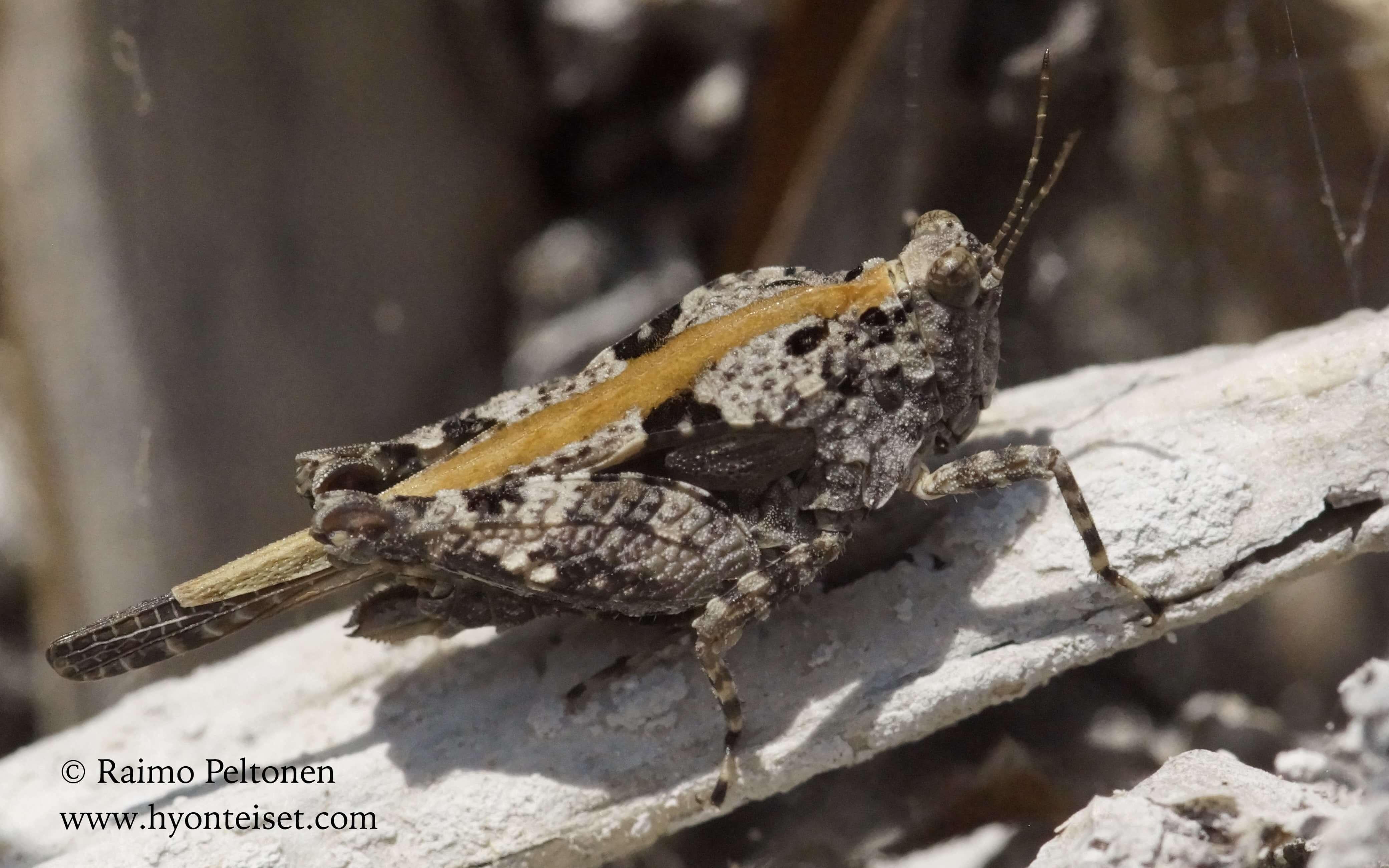 Paratettix meridionalis (Tetrigidae) (det. Jose Fernandez) MALLORCA