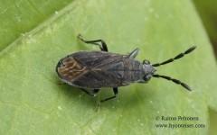 Peritrechus angusticollis
