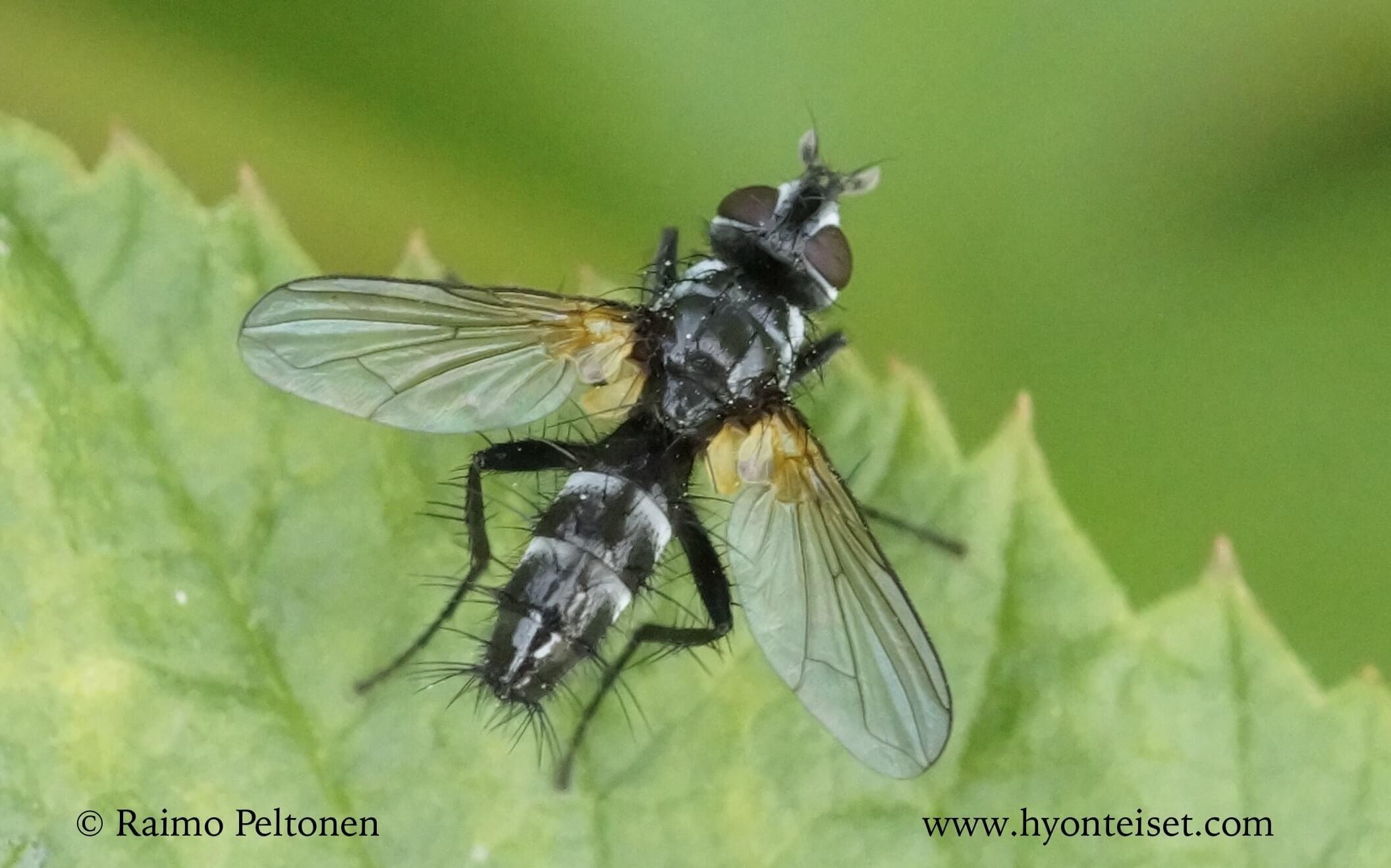 Phyllomya volvulus (det. Stephane Lebrun)