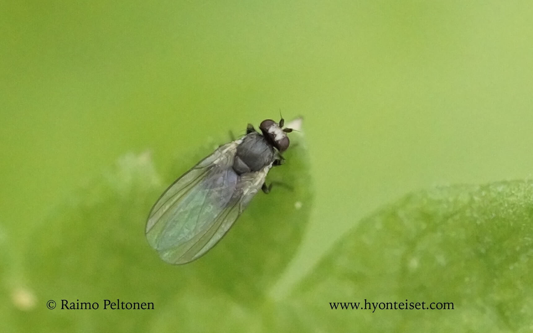 Phytomyza sp. (det. Kaj Winqvist)