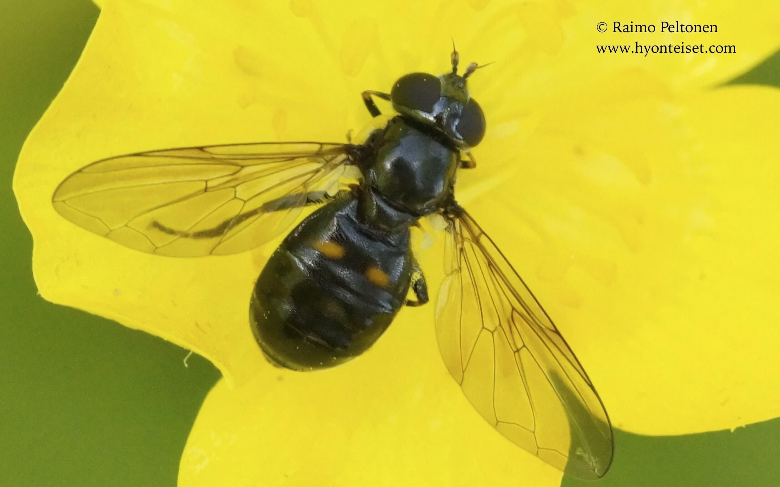 Pipiza cf. bimaculata-kaksipistesysinen