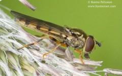 Platycheirus immarginatus 2