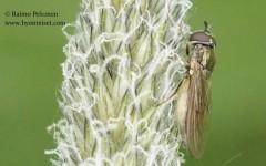 Platycheirus clypeatus