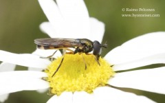 Platycheirus granditarsus 2