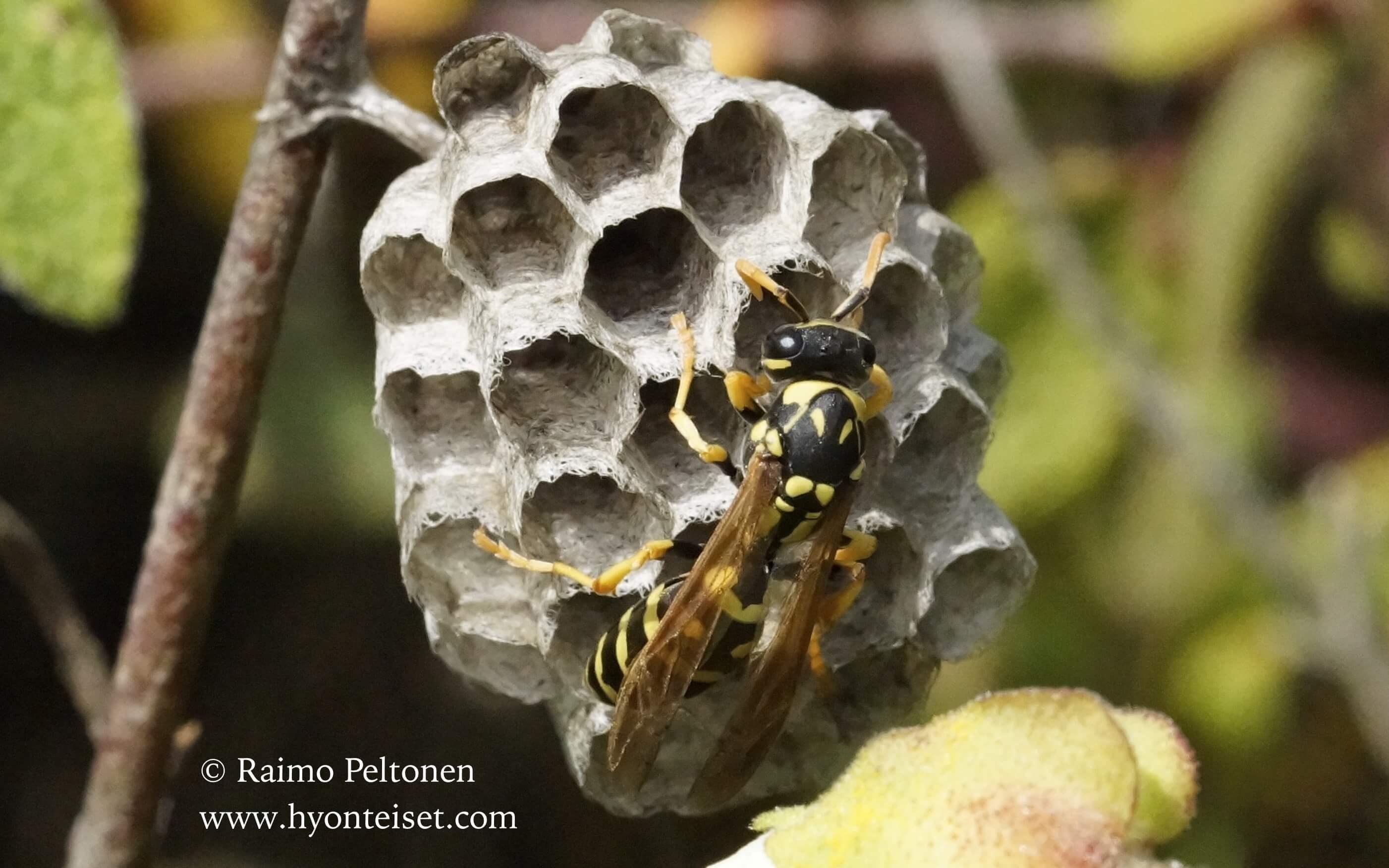 Polistes dominulus-paperiampiainen (Vespidae) MALLORCA