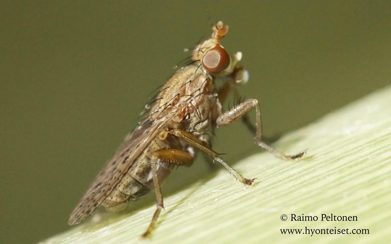 Psacadina sp. (Sciomyzidae) (det. Nikita Vikhrev) MALLORCA
