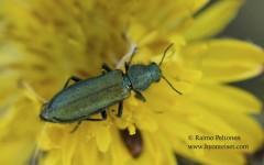 Psilothrix viridicoerulea