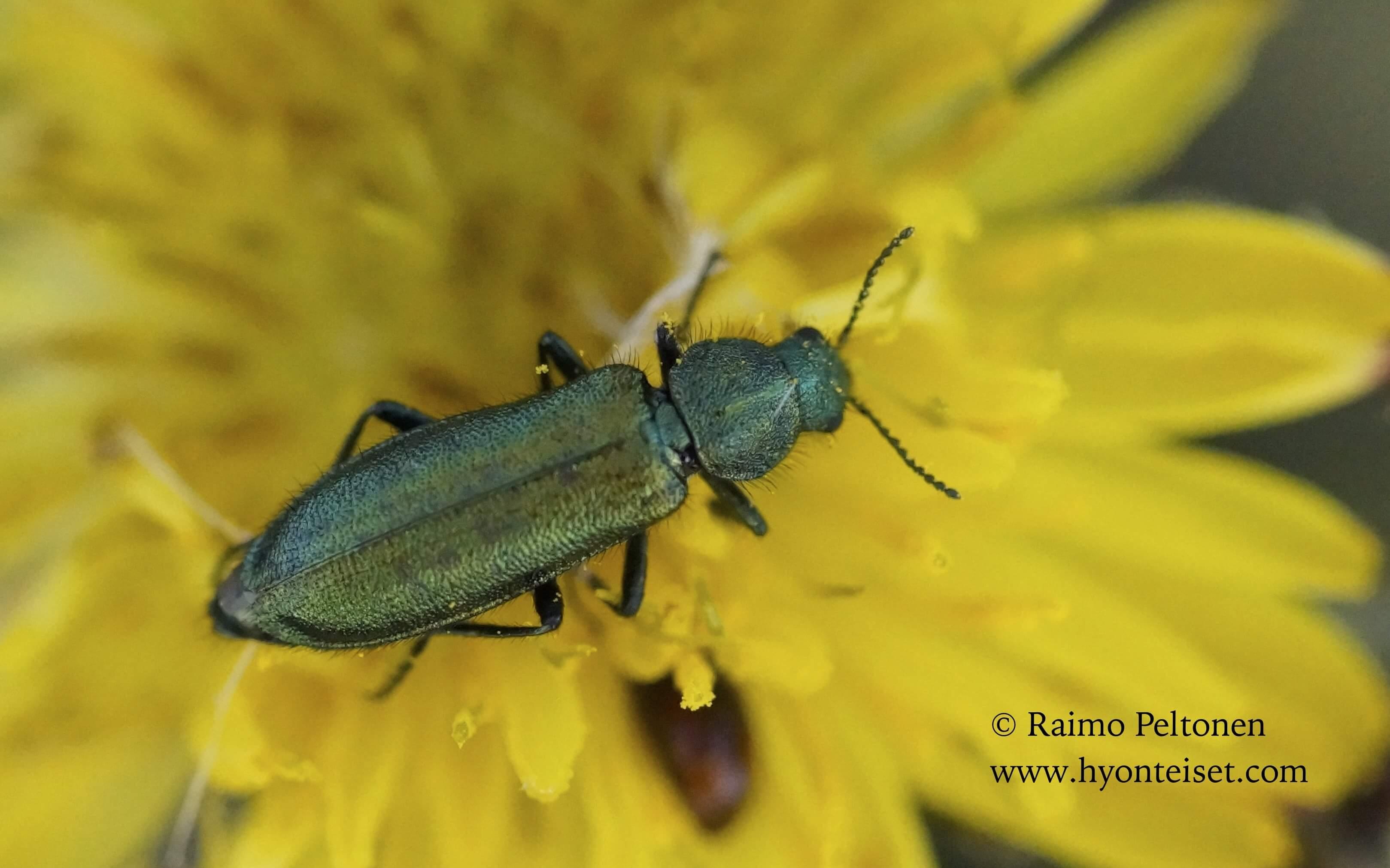 Psilothrix viridicoerulea (Melyridae) (det. Jose Fernandez) MALLORCA