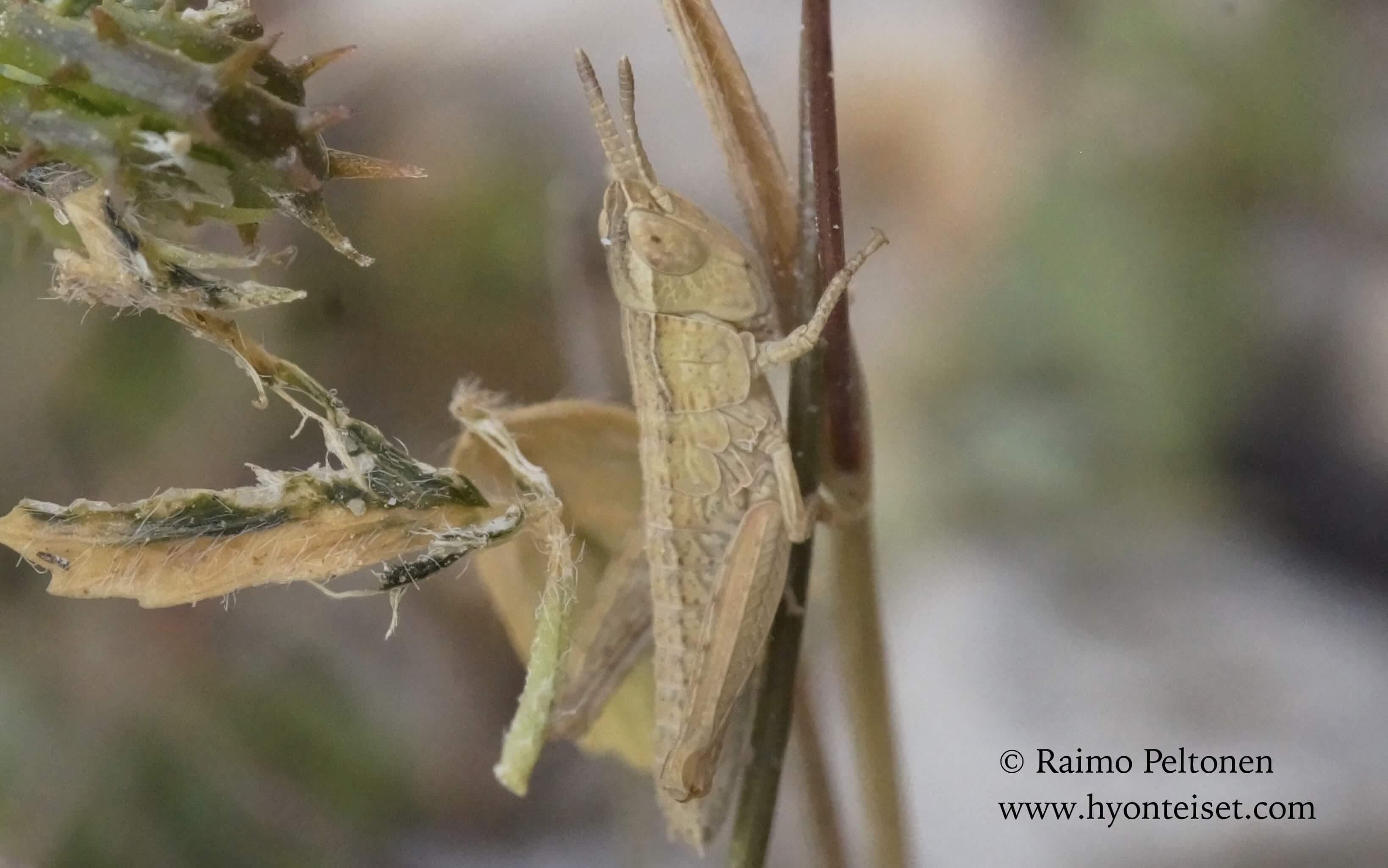 Pyrgomorpha conica (Pyrgomorphidae) (det. Jose Fernandez) MALLORCA