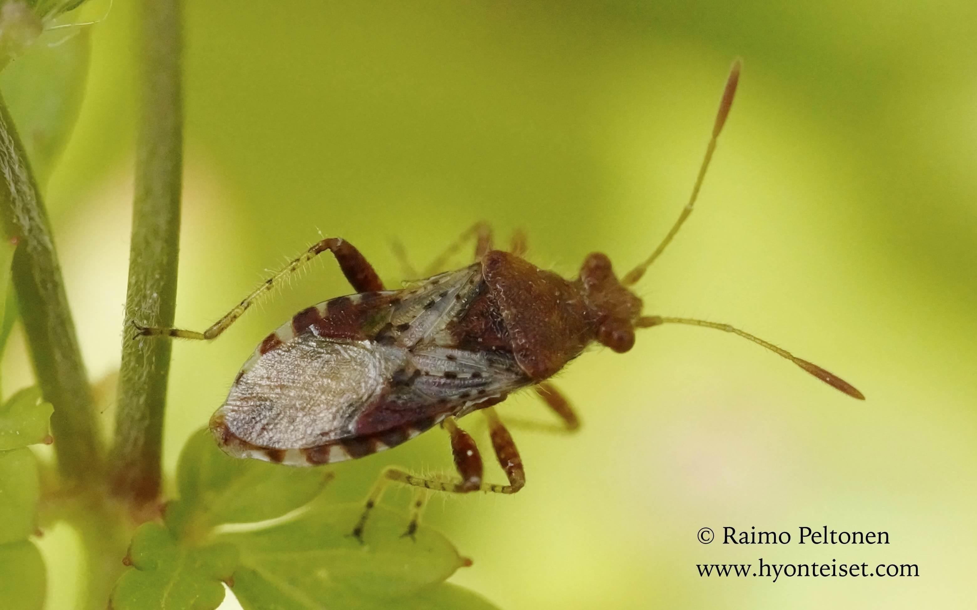 Rhopalus subrufus-tappiruskolude