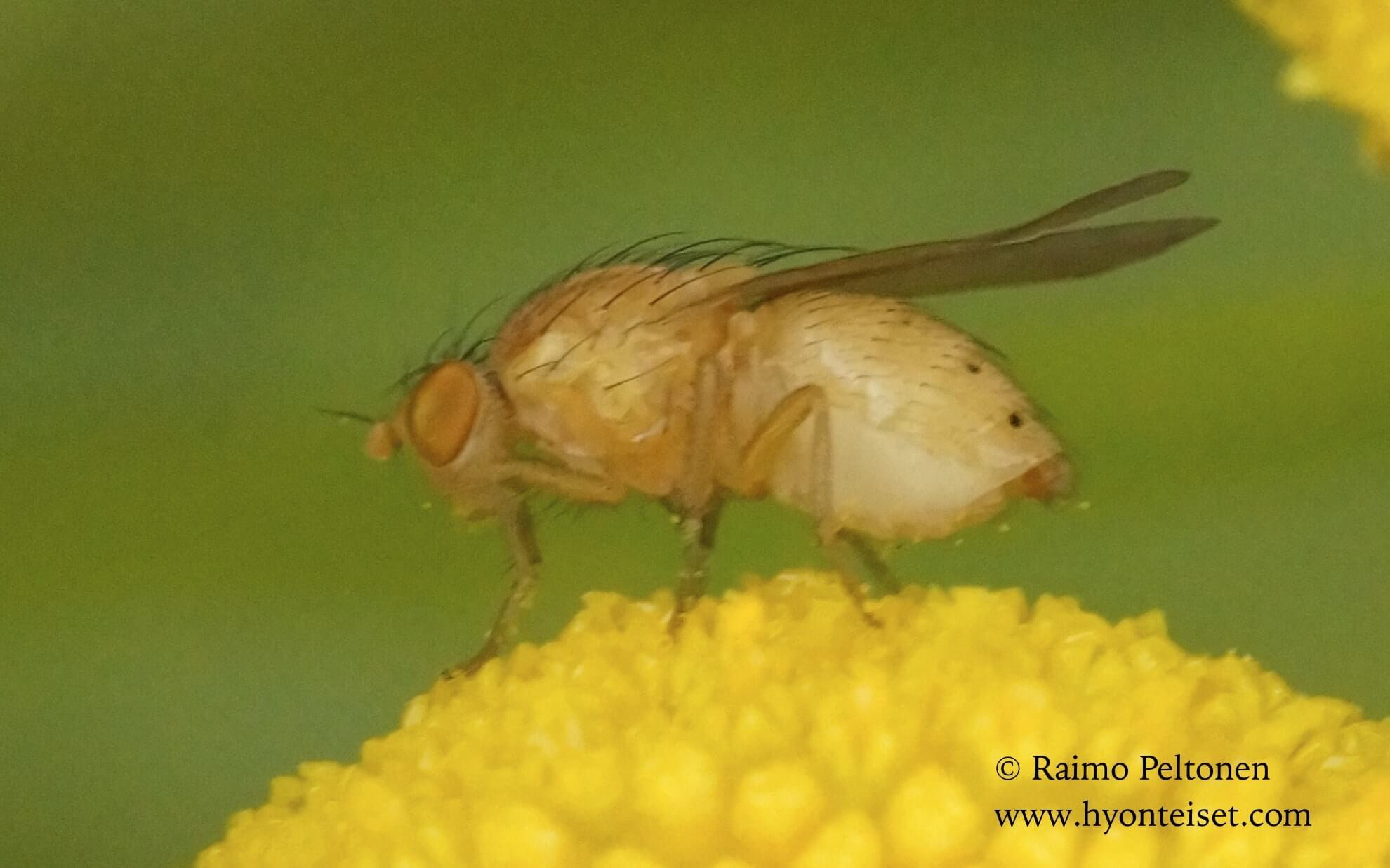 Sapromyzosoma cf. quadripunctata