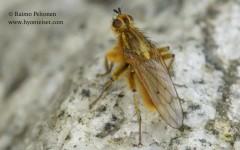 Scathophaga stercoraria 1