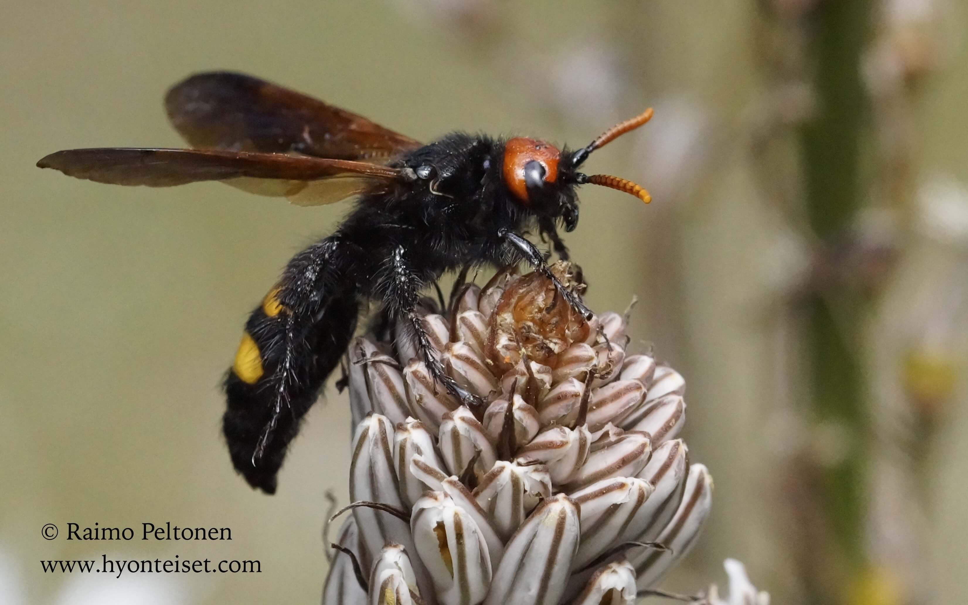 Scolia erythocephala (Scoliidae) MALLORCA