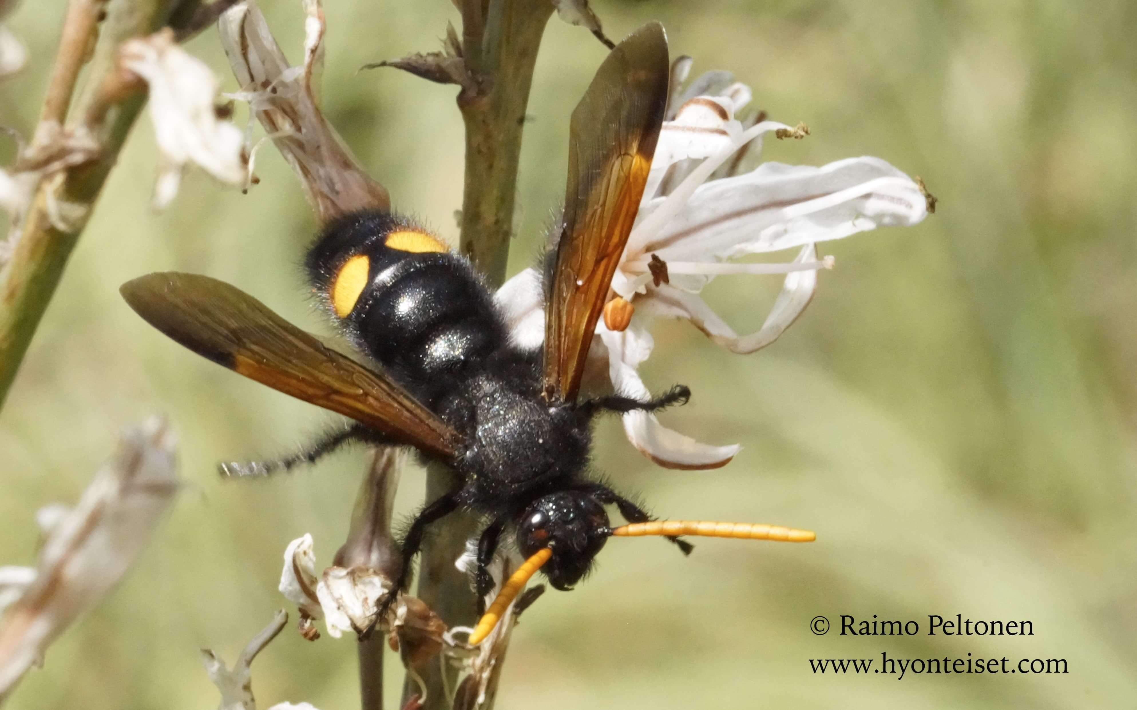 Scolia eryhtocephala nigrescens (Scoliidae) MALLORCA