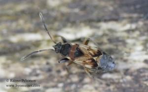Scolopostethus thomsoni 1