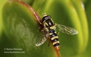 Simosyrphus aegyptius